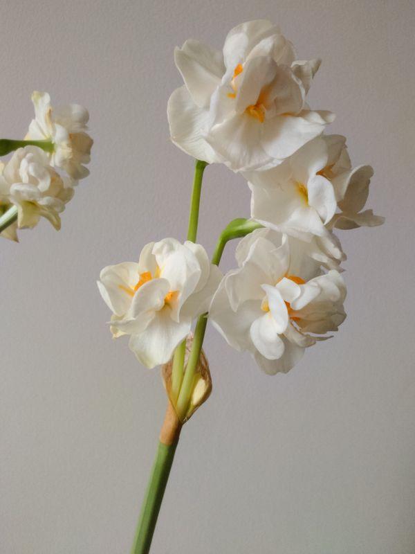 Daffodil in blossom thumbnail