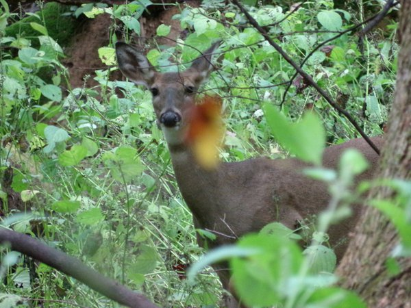 White-tailed deer (Odocoileus virginianus) thumbnail