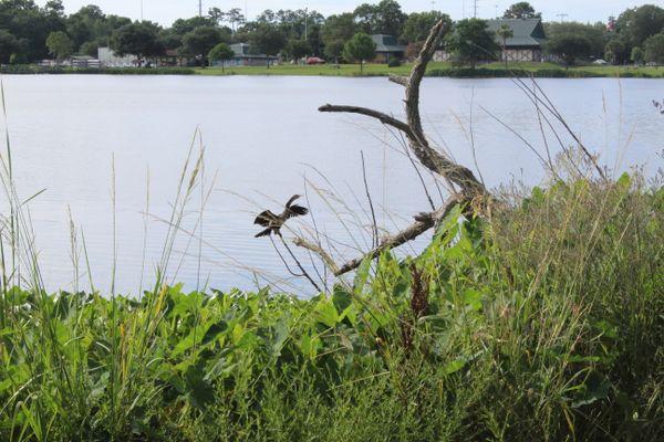 Crane spreading it's wings thumbnail