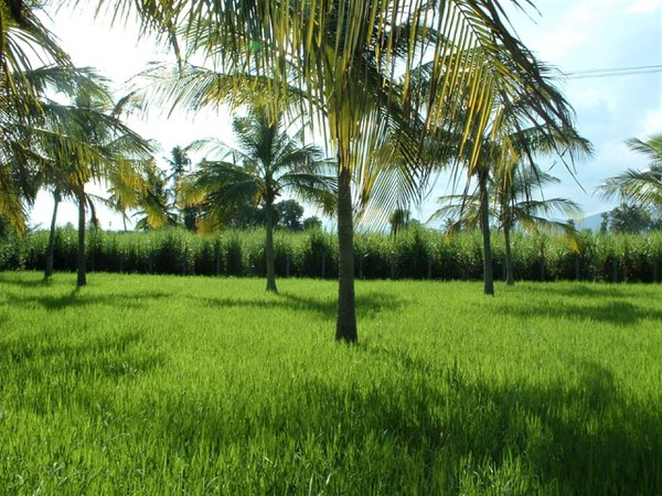 Paddy field among coconut trees. thumbnail
