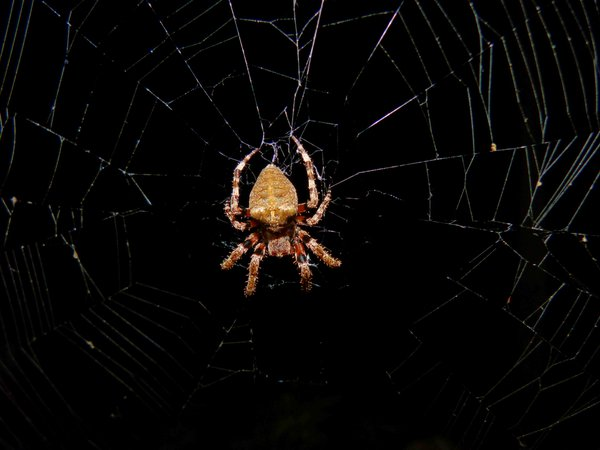 Night Hunting Spider thumbnail