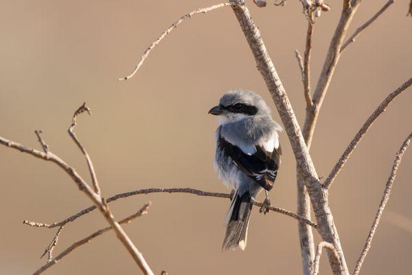Southern grey shrike thumbnail