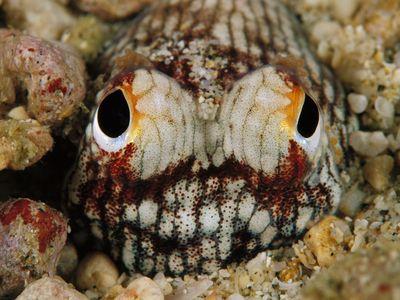 A bobtail squid hides on the ocean floor.