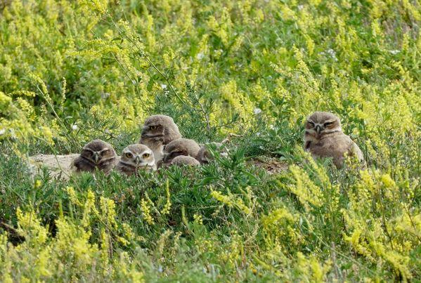 Parliament of owlets - Badlands NP thumbnail