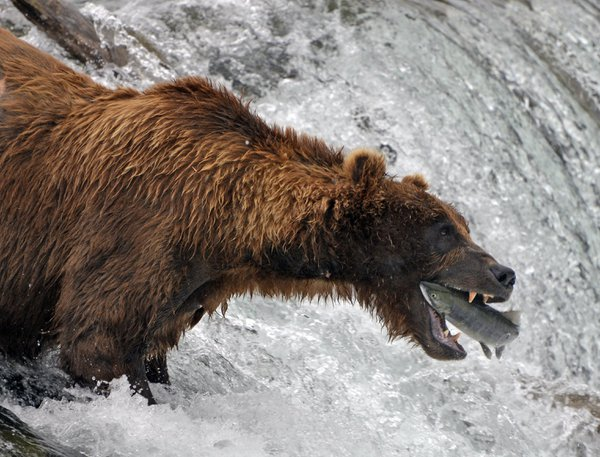 Grizzly bear catching fish at Brooks Falls thumbnail
