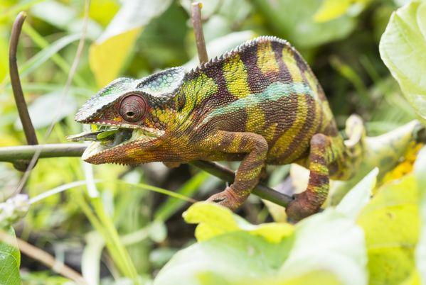 Madagascar chameleon thumbnail