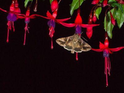 Silver Y Moth (Autographa gamma), feeding on fuchsia flowers at night in a garden.