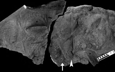 Soft tissue traces of the ankylosaur Tarchia. Black asterisks denote large osteoderms, scale impressions are pointed out by an arrowhead and small ossicles are identified by the arrow.