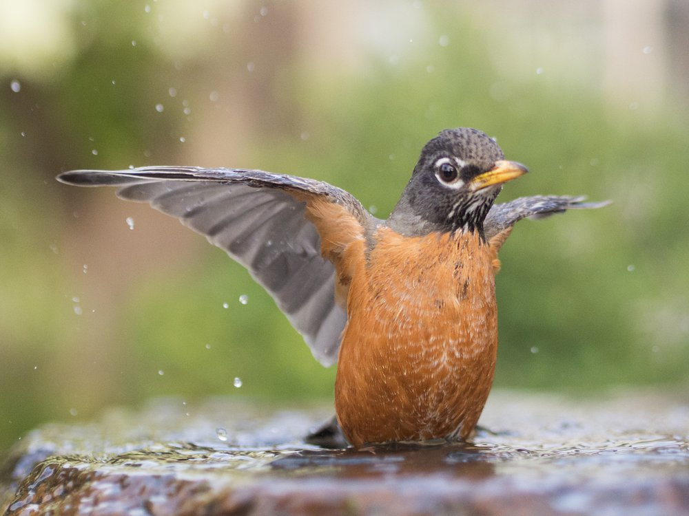 robin-bird-bath.jpg