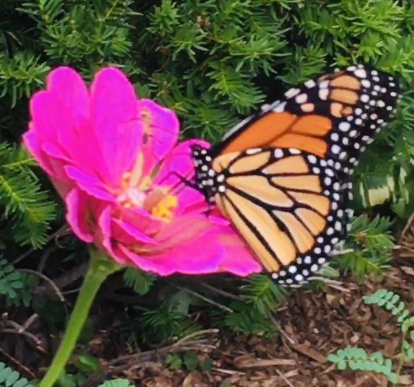 Monarch butterfly enjoying nectar from a pink wild flower thumbnail