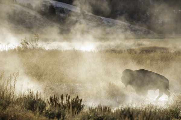 Buffalo walking in the mist thumbnail