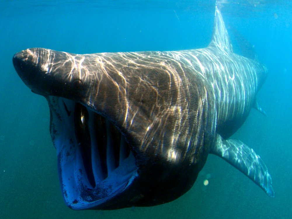Photo of a basking shark with its mouth open underwater