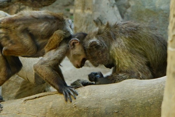 A Monkey at the zoo of Limassol on the island of Cyprus thumbnail