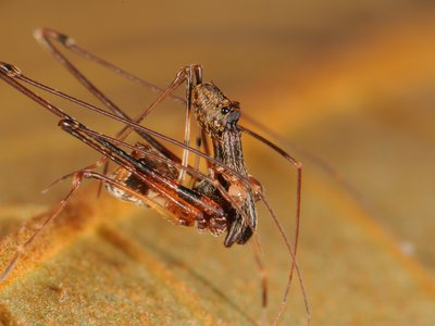 Researchers at the Smithsonian's National Museum of Natural History traveled the world and made many new discoveries this year—including 18 new species of pelican spiders. (Nikolai Scharff)