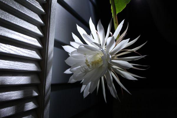 Night Bloooming Cereus  thumbnail