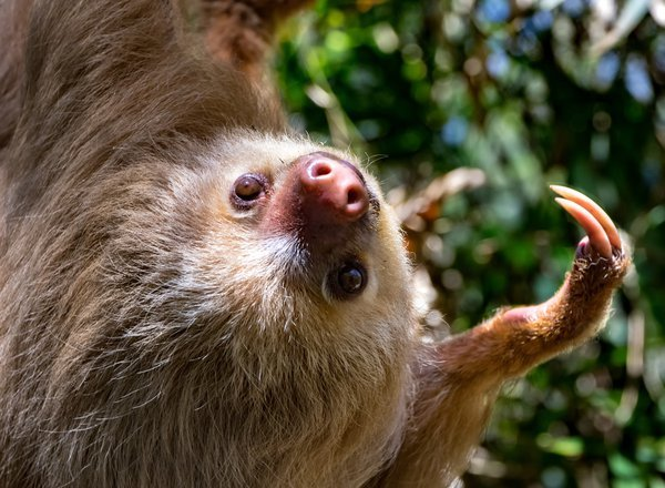 Costa Rica Sloth Reaching Out thumbnail