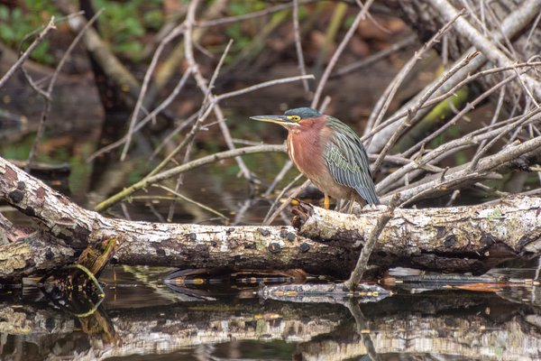 Green Heron in swamp. thumbnail