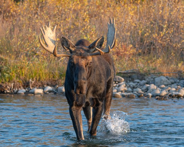 Moose in a river thumbnail