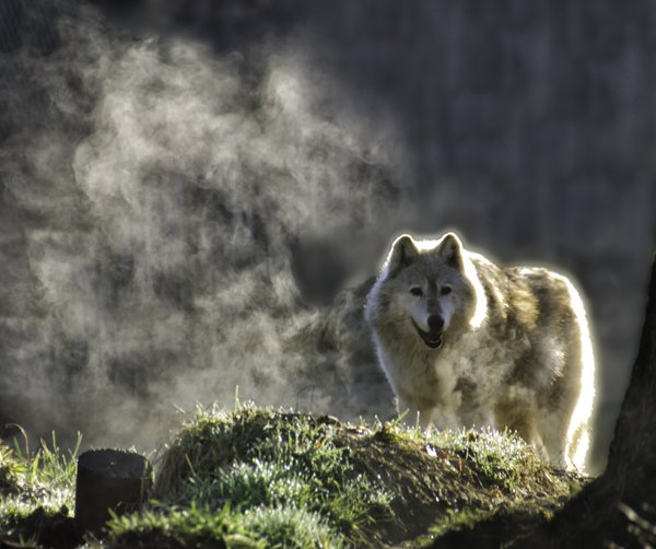 Wolf on a Foggy Morning thumbnail