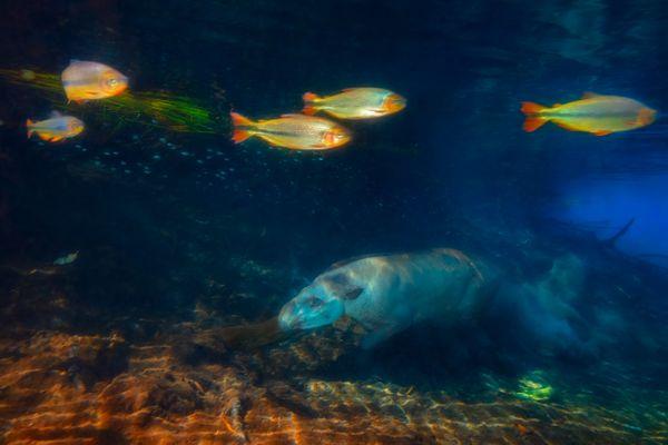 Tapir Diving thumbnail