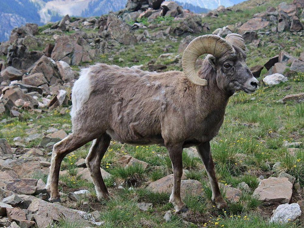 1200px-New_Mexico_Bighorn_Sheep.JPG