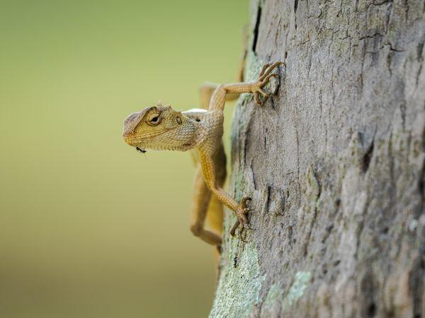 a garden lizard and an ant. thumbnail