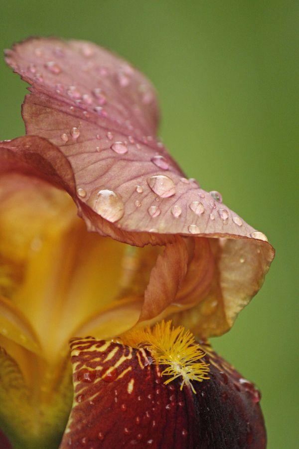 Bearded Iris After Rain thumbnail