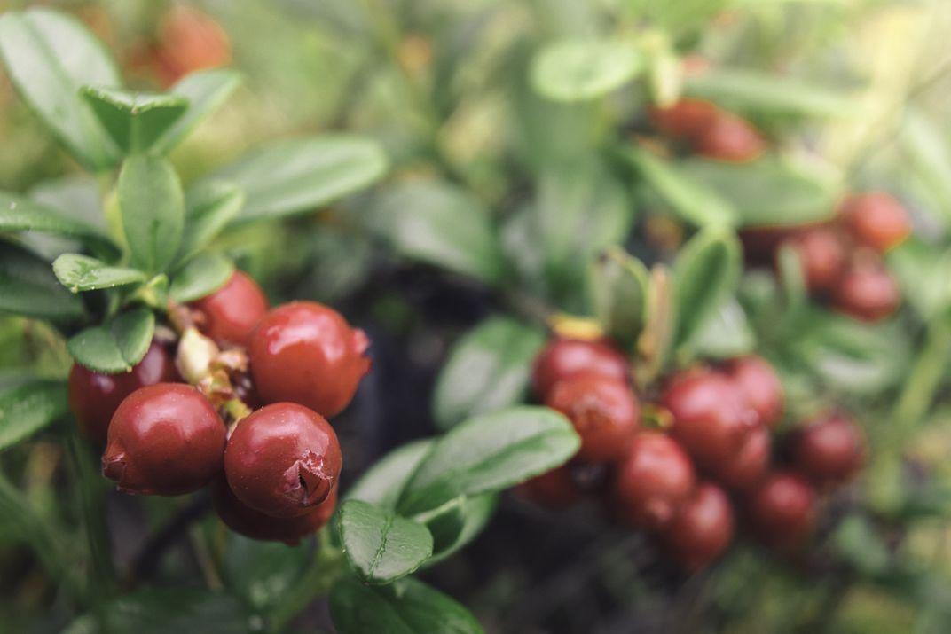 Image of lingonberries