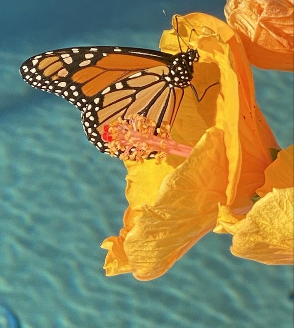 A Monarch feeding on my Hibiscus while lounging by my pool. thumbnail