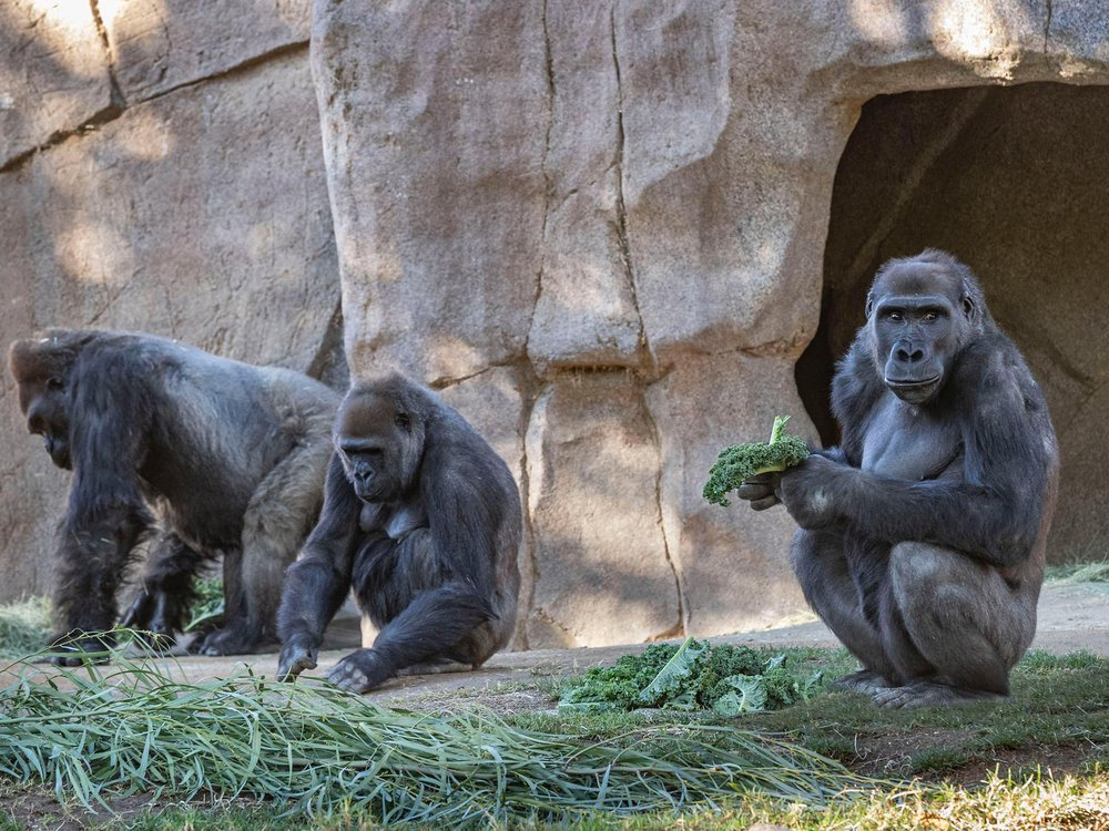 Three gorillas sit in a zoo exhibit, one holds a leaf and looks at the camera