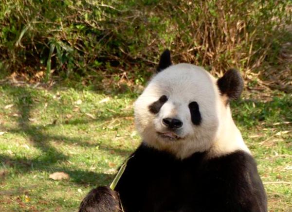 Giant Panda at the National Zoo enjoying his meal on a beautiful day. thumbnail