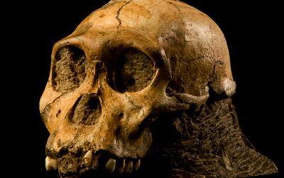 The skull of Australopithecus sediba
