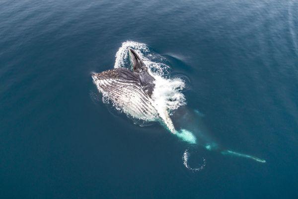 Feeding whale thumbnail