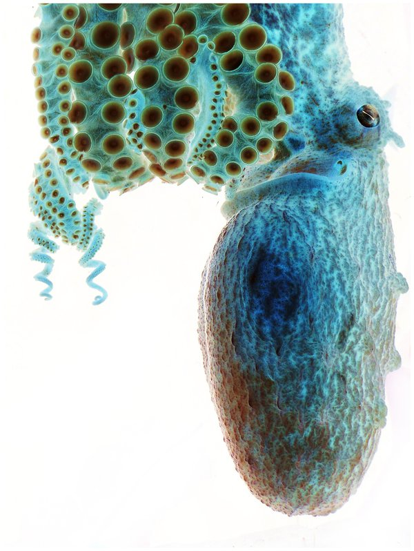 Negative Image of octopus. thumbnail