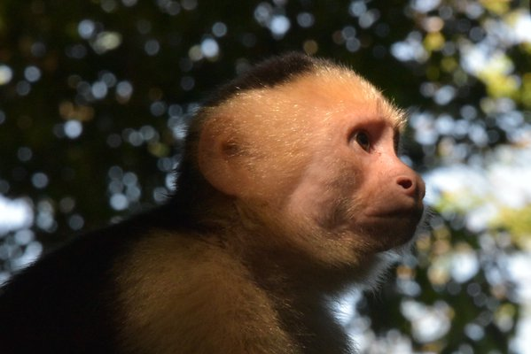 Golden White-Faced Capuchin thumbnail