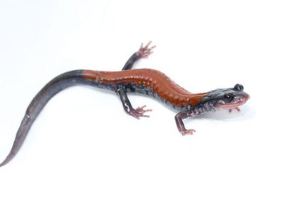 The Yonahlossee salamander is a woodland species from the southern Appalachian Mountains in the United States