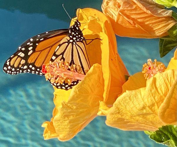 Monarch feeding on a Hibiscus thumbnail