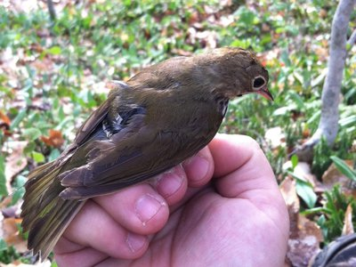 Tiny ovenbirds wore an even tinier backpack equipped with a GPS tracker that monitored their migratory paths over the course of a year—offering new data on their routes.