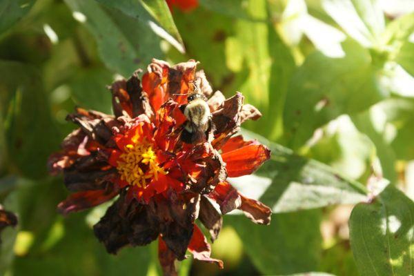 Bumblebee on last flower of summer thumbnail
