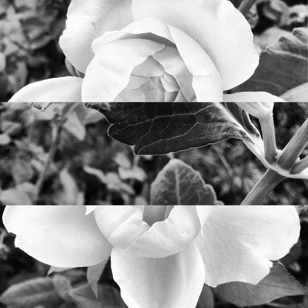 Split Rose thumbnail