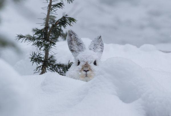 Snowshoe Hare in Moose Print thumbnail