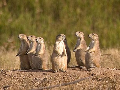 A family of black-tailed prairie dogs practices their vigilance from their colony in Highlands Ranch.