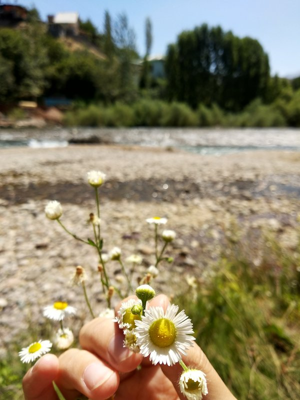 A little daisy by the river thumbnail