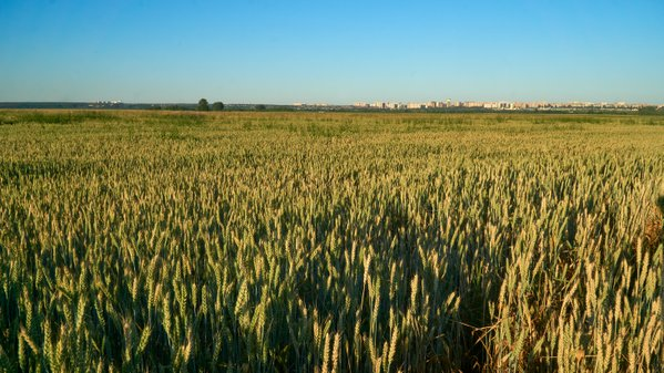Grain fields in summer reaching residential areas of the city thumbnail