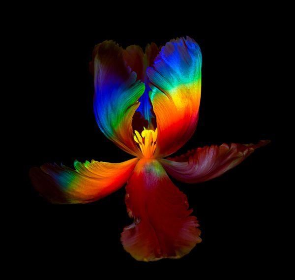 Rainbow Tulip thumbnail