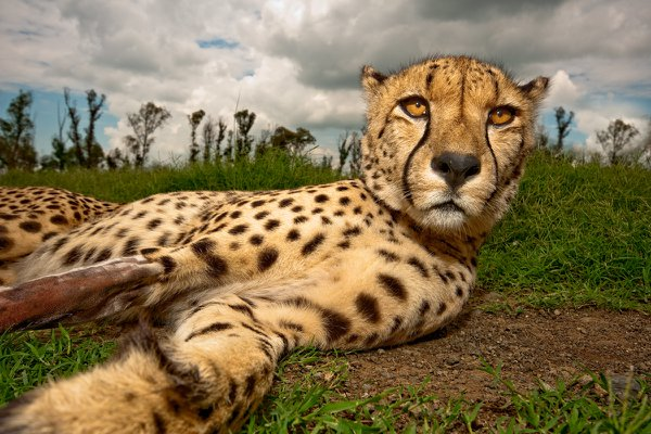 Cheetah Juba is relaxing in the grass and enjoying the attention. His leg is broken caused by an unknown event. thumbnail