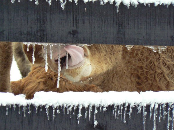 A cow licking icicles off a fence thumbnail