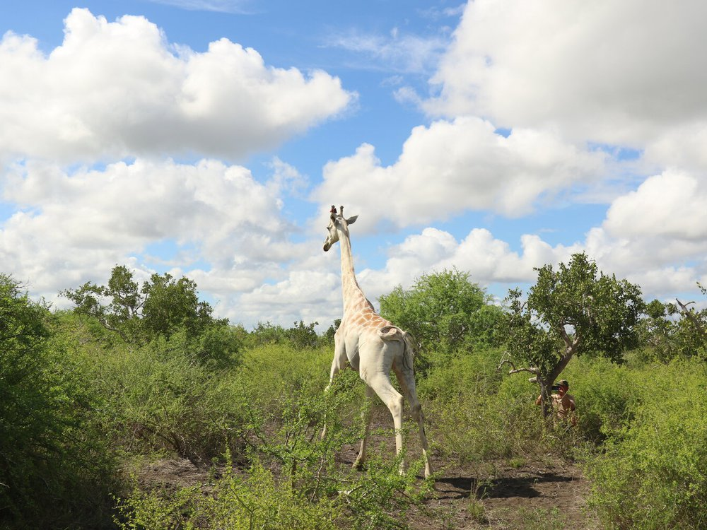 White giraffe photographed from behind in a grassy field
