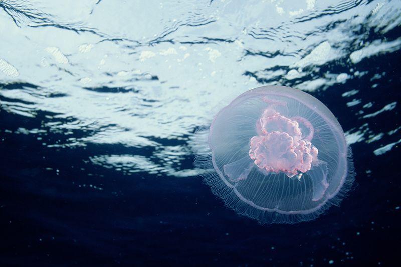 moon jellyfish.jpg