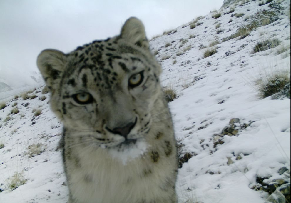 snowleopard-1.jpg